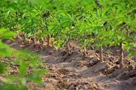 Wunderknolle MaCassava field / GrowExpress Ltd., Nigerianiok Feld/ GrowExpress Ltd., Nigeria
