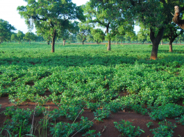 Cassava - The potato of the tropics as best alternative during global climate change