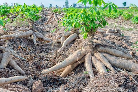 Cassava harvest / GrowExpress Ltd., Nigeria